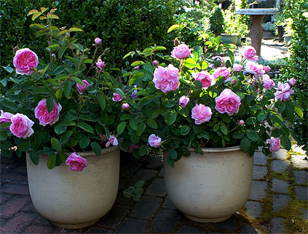 grow roses in pots