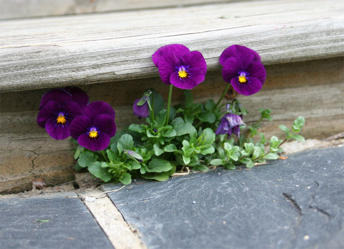 spring flowers - pansy